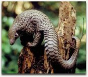 Oh, and there's a pangolin in this film too. So enjoy a pango-pic from SavePangolins.org!